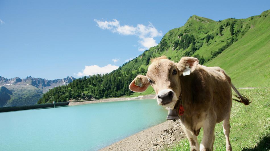 piora-mucche-al-pascolo-713-0.jpg