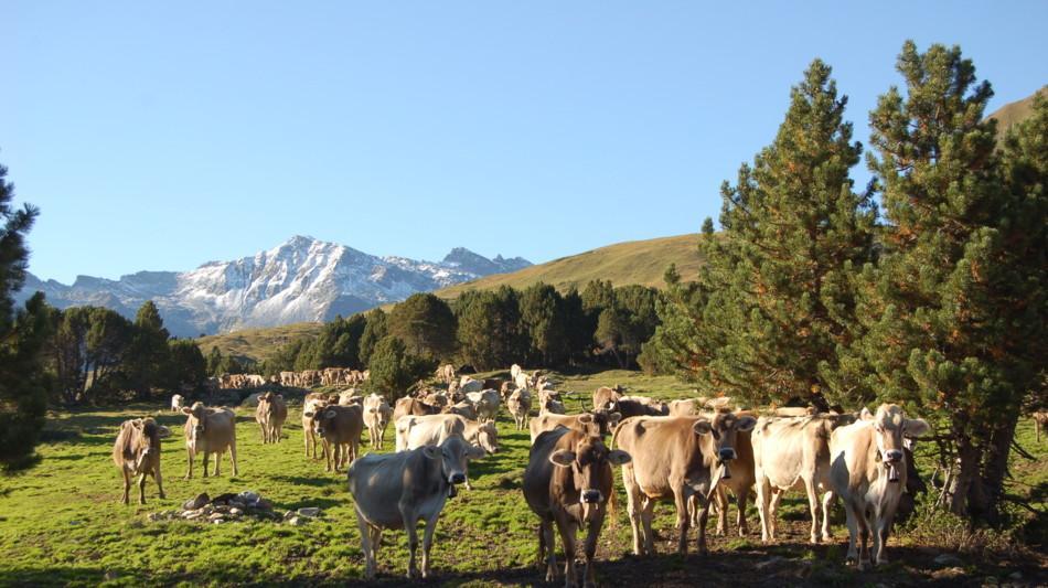 regione-montana-del-lucomagno-mucche-696-1.jpg