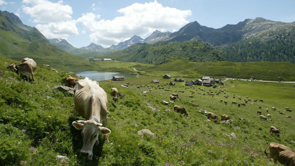 piora-mucche-al-pascolo-691-0.jpg