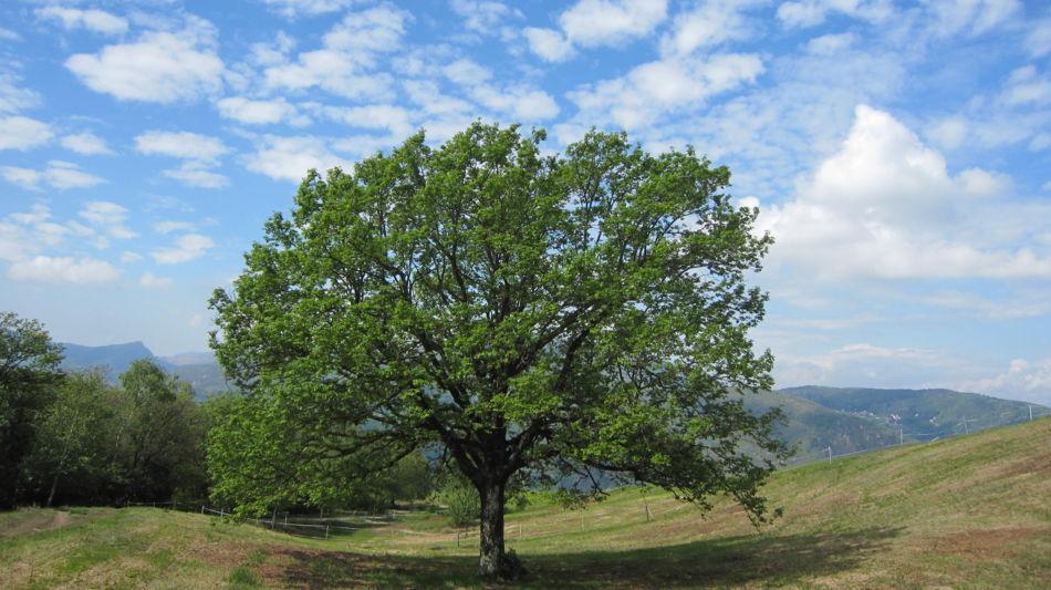 morcote-baum-vicania-868-0.jpg