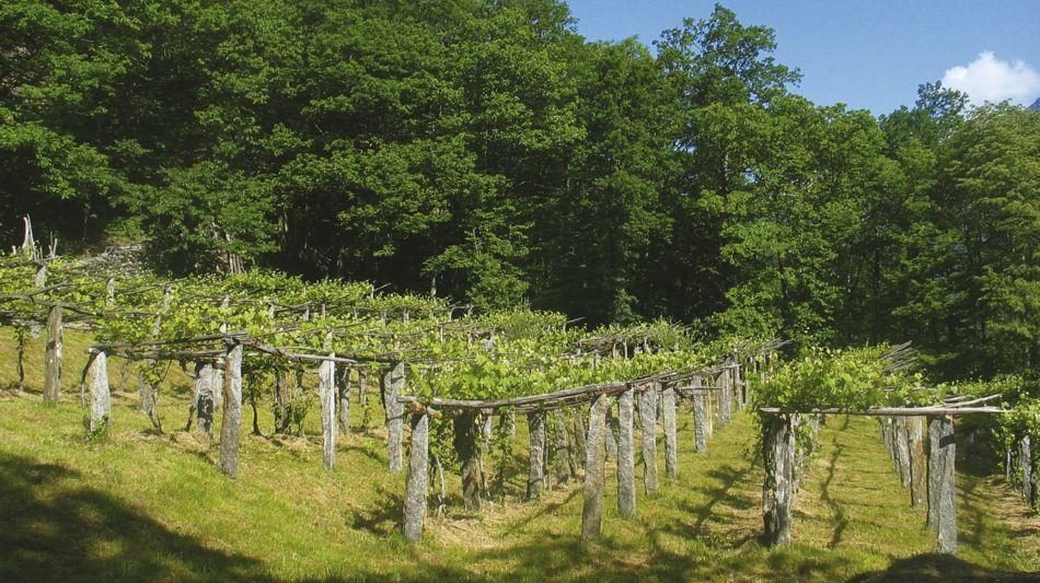 maggia-sentieri-viticoli-vigneti-lodan-2361-0.jpg
