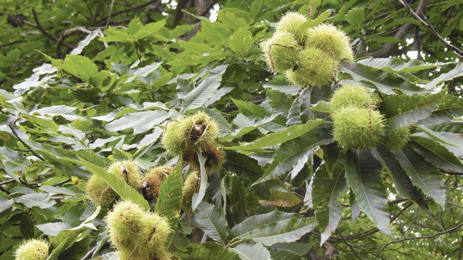castagno-con-frutti-1716-0.jpg