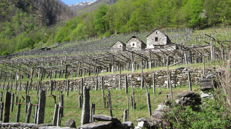 carasc-nei-vigneti-della-vallemaggia-6857-0.jpg