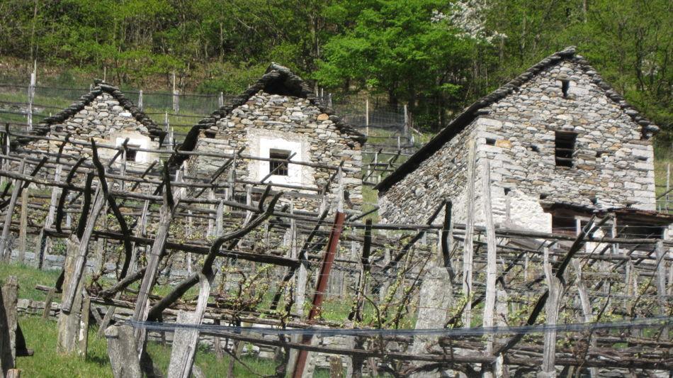 carasc-nei-vigneti-della-vallemaggia-6858-0.jpg