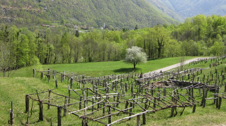 carasc-nei-vigneti-della-vallemaggia-6862-1.jpg
