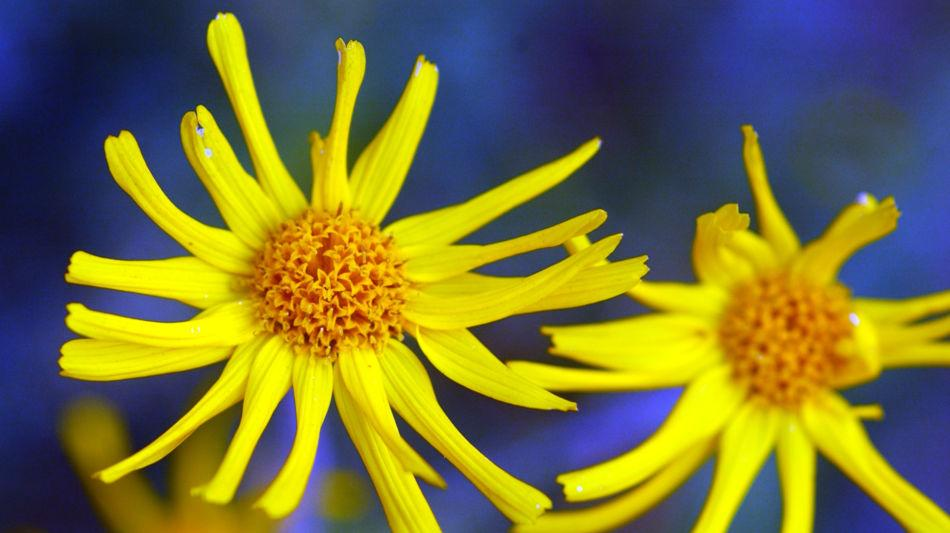 fiori-dalta-montagna-arnica-alpina-7023-2.jpg