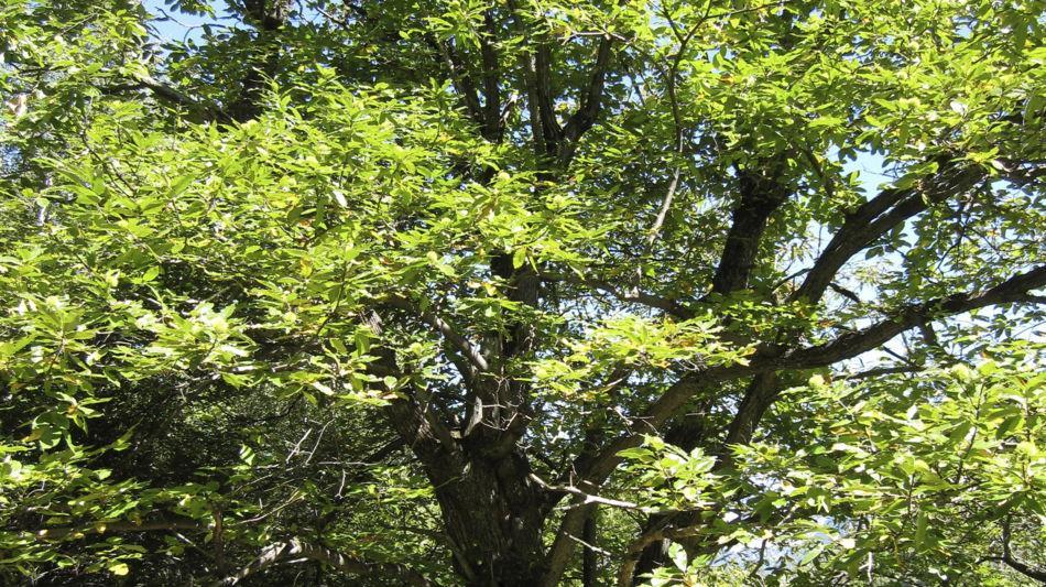albero-castagno-1718-0.jpg