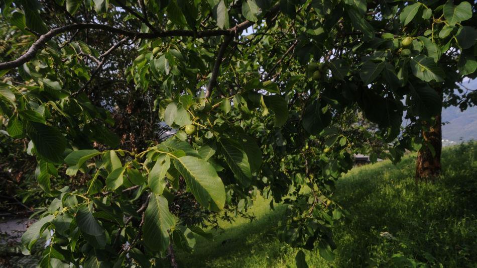 alberi-di-noce-1189-0.jpg