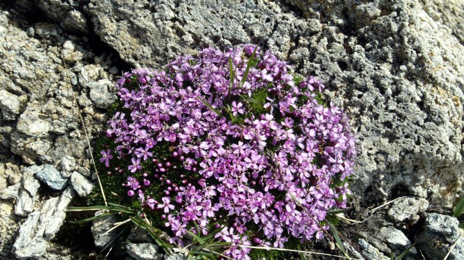 flora-alpina-1249-0.jpg