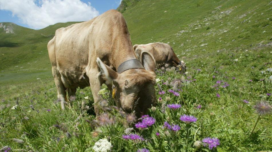 mucche-al-pascolo-7394-0.jpg