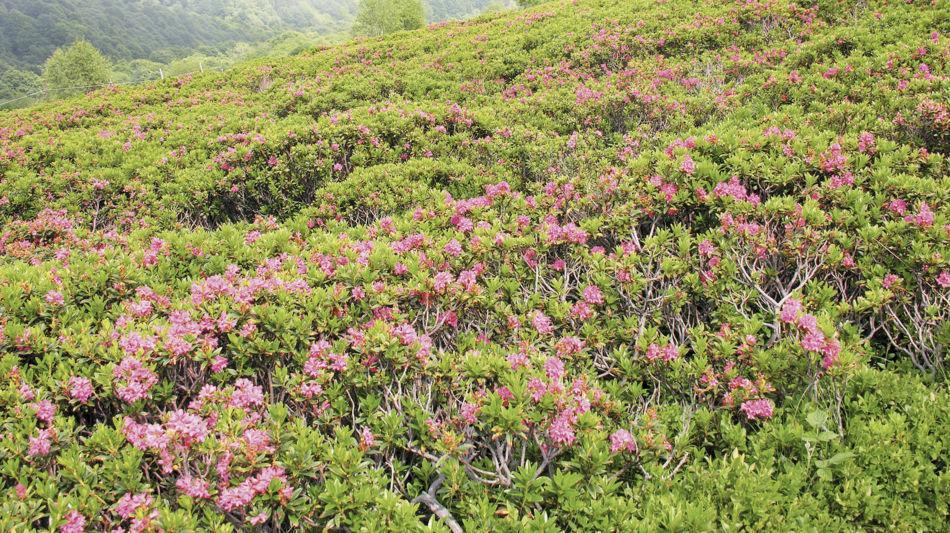 flora-alpina-1269-0.jpg