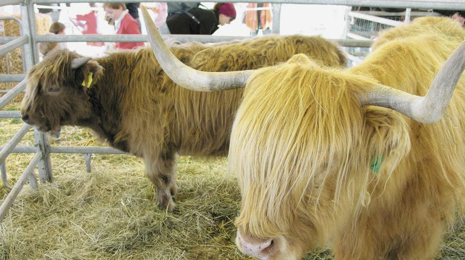 agno-sagra-san-provino-mucche-1980-1.jpg