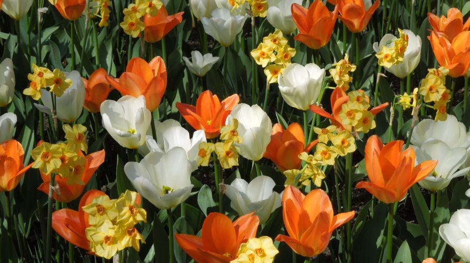 tulipani-e-narcisi-1449-1.jpg