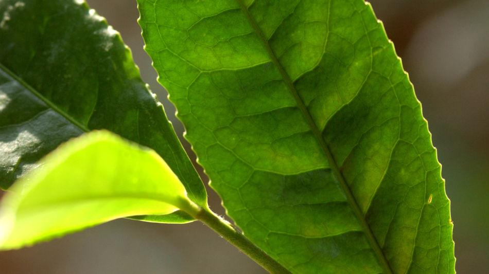 ascona-te-verde-1295-0.jpg