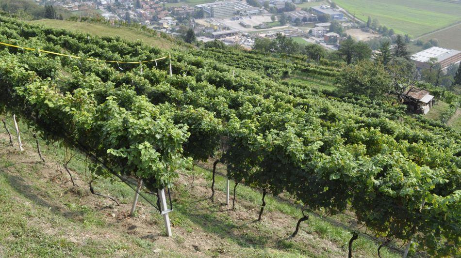 bioggio-vigneto-cesare-lucini-7940-0.jpg