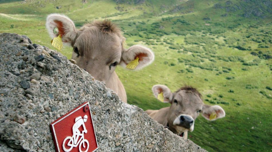 mucche-1562-0.jpg