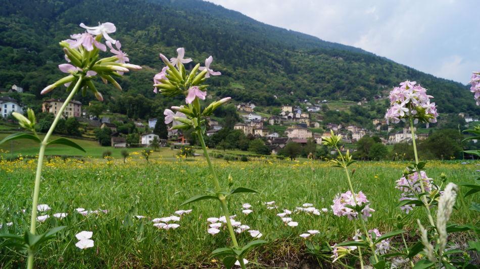 semione-prati-fioriti-1622-0.jpg
