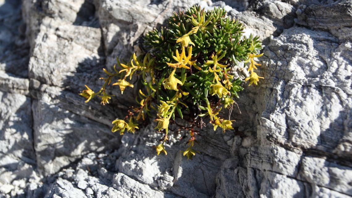 flora-alpina-1675-0.jpg