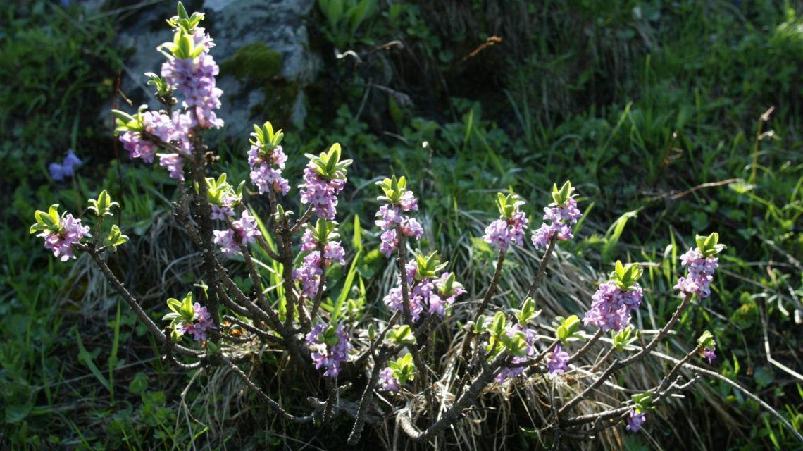 flora-alpina-8449-0.jpg