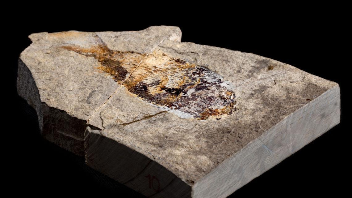 fossili-del-monte-san-giorgio-7123-0.jpg