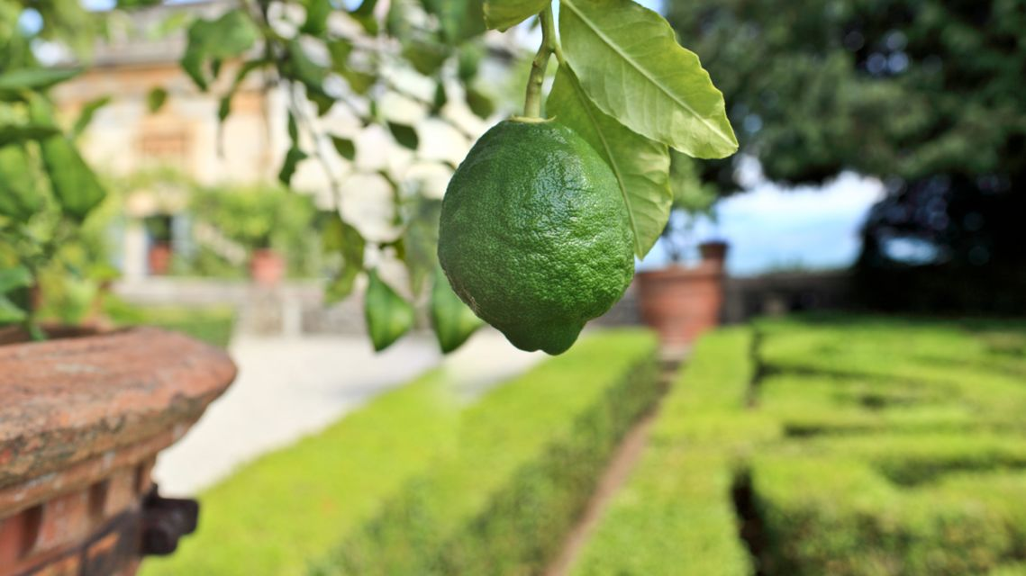 Limone-nei-giardini-dell-Isola-Bella-7308-TW-Slideshow.jpg
