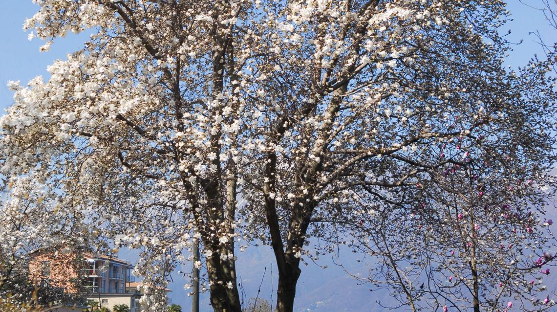 Parco-Botanico-del-Gambarogno-Magnolia-17945-TW-Slideshow.jpg