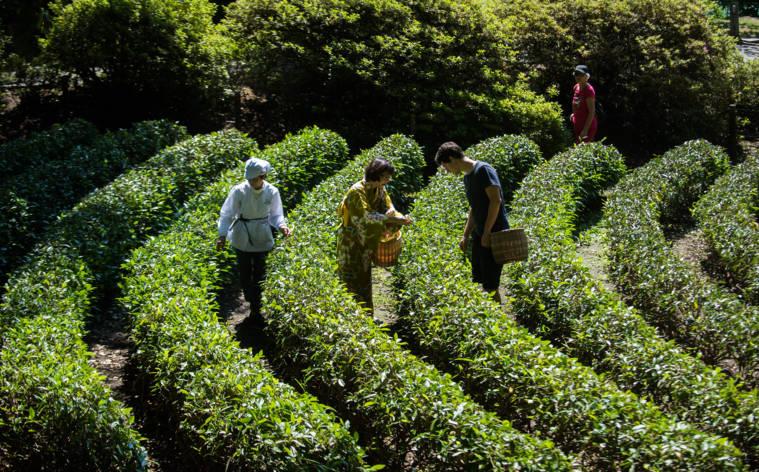 Tee-Erntefest auf dem Monte Verità