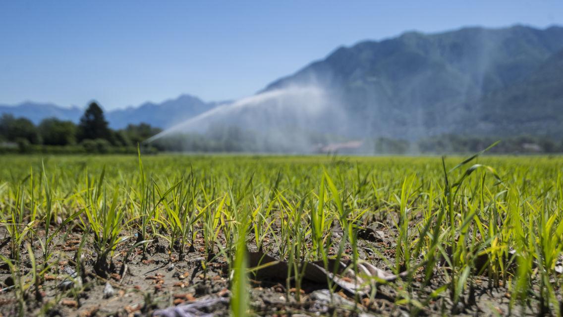 coltivazione-di-riso-21865-TW-Slideshow.jpg